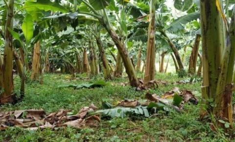 Governo do Estado irá investir R$ 2 milhões para apoio da bananicultura